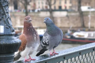 Cheeky Pigeons
