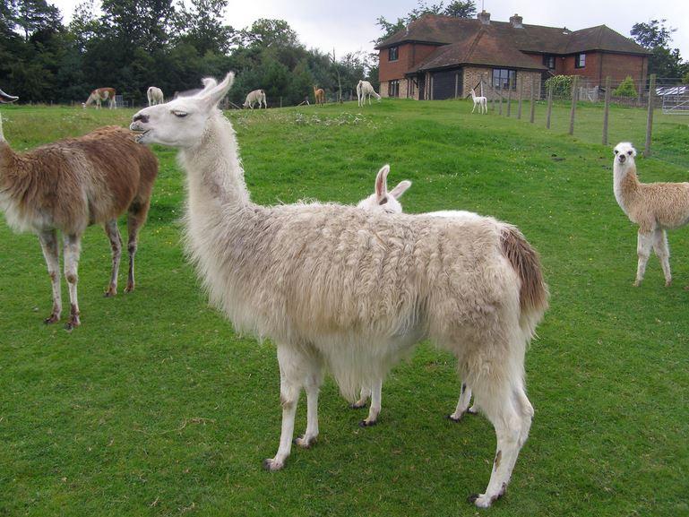 Some Nice Llamas